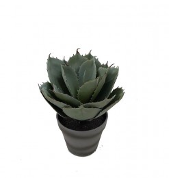 Plante agave