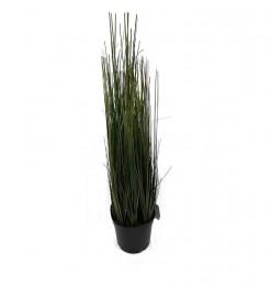 Plante oignon